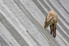 Seeking for salt - Geometry of the dam (Michele Remonti) Tags: capraibex ibex stambecco barbellino diga dam lombardy italia italy lombardia valleseriana