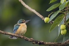 Sacred Kingfisher (VenaCos) Tags: indonesia kingfisher sacredkingfisher todiramphussanctus sacred sacredbird bird birds lombok
