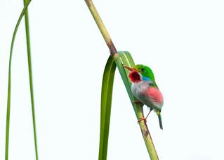 Cuban Tody _ Todus multicolor