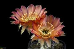 Lobivia amblayensis WR 19 (clement_peiffer) Tags: lobivia amblayensis wr 19 flowerscolors d7100 105mm cactaceae succulent peiffer clement nikon cactus fleurs flower spines epines kaktusi кактуси