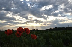 Morning suns (Lionel6114) Tags: coquelicots fleurs campagne soleil rayons ciel