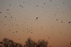 Murmuration-9 (Odd Wellies) Tags: hamwall murmuration starlings