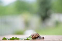 Tourbillon (mariossian) Tags: d750 nikon 85mm nikkor lumaca snail 18 color nature