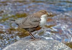 DSC6271  Dipper.. (jefflack Wildlife&Nature) Tags: dipper dippers birds avian animal wildlife riverbirds reservoirs waterbirds waterways countryside nature
