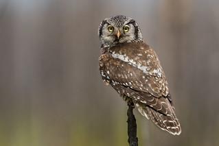 Summertime Northern Hawk-Owl | Surnia ulula | Chouette épervière