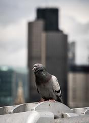 Tower 42 Pigeon (James_Beard) Tags: pigeon london tower42 natwesttower city bird landmarks londonlandmarks fujixt2 fujixf55200 telephoto
