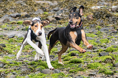 happiness! (RCB4J) Tags: ayrshire barassiebeach clydecoast firthofclyde rcb4j ronniebarron scotland sonydt1870f3556 sonyilca77m2 art beach dobermanterrier dogs hound photography play playing run running sand sea siameselurcher trailhound trailie happiness