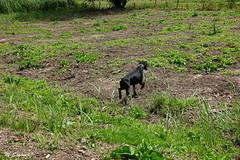 Zondagwandeling (Marja S) Tags: dobermann dogwalk holland hondenwandeling