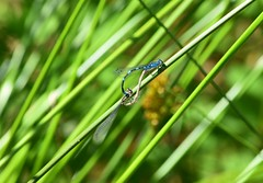 Damselflies (careth@2012) Tags: nature odonata damselflies britishcolumbia wildlife