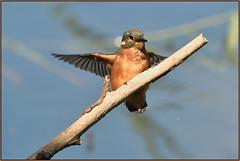 Kingfisher (image 3 of 3) (Full Moon Images) Tags: kings dyke wildlife nature reserve cambridgeshire bird kingfisher