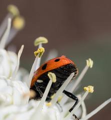 Macro Mondays - Bottoms Up (d2roberts) Tags: macromondays ladybug macro red bottomsup