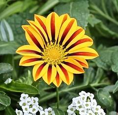 Gazania (Bill Jacomet) Tags: mercer arboretum spring tx texas 2017 flowers gazania