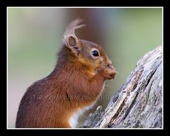 IMG_0064 Red Squirrel (Scotchjohnnie) Tags: redsquirrel sciurusvulgaris squirrel squirrelphotography wildanimal mammal rodent nature naturewildlifeandbirds northeastengland wildlife wildandfree canon canoneos canon7dmkii canonef100400f4556lisiiusm scotchjohnnie portrait closeup