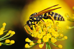 Wasp1PlusAgain (2) (Rich Mayer Photography) Tags: wasp wasps bee bees nature sting stinger insect insects wing wings flower flowers wild life wildlife macro micro nikon