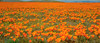 California Poppy (Eschscholzia californica) (ER Post) Tags: americanstates antelopevalley california californiapoppyeschscholziacalifornica losangelescounty plant poppy wildflower