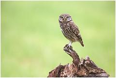 Little owl - Steenuil (Athene noctua) (Martha de Jong-Lantink) Tags: 2016 athenenoctua fotohut fotohutglennvermeerschkalmthout glennvermeersch kalmthout littleowl steenuil steenuiltje steenuiltjes vogelhut4 belgië