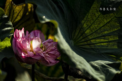 D66_9965 (brook1979) Tags: 台北市 植物園 荷 蓮 荷花 蓮花 葉 花 lotus flower
