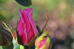 IMG_0717 (jaybluejeans94) Tags: nature flower plant flowers rose wales summer macro amateur