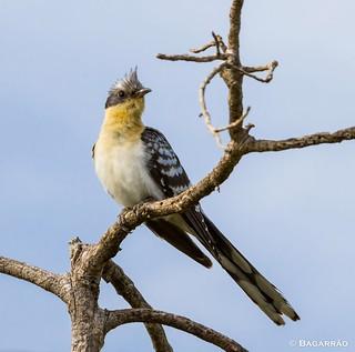 Cuco-rabilongo | Great Spotted Cuckoo | Críalo europeo | Coucou geai (Clamator glandarius)