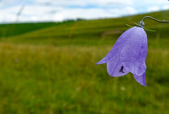 Harebell (claire.whatley) Tags: harebell flower flora blue rural outdoor nature
