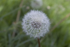 Blowball (ЕвгенийАлексеев1) Tags: blowball nature belarus grass bokeh firstphoto macro flower