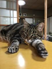 Lazy Neko-Punch (sjrankin) Tags: 15july2017 edited animal cat tigger table kitchen relax yubari hokkaido japan