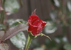 ~ I Come To The Garden Alone, While The Dew Is Still On The Roses .... (~ Cindy~) Tags: rose knockoutroses drops rain home tennessee rockwood 2017 red raindrops