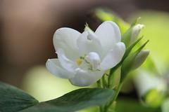 -শ্বেত কাঞ্চন- (Mou.Saha) Tags: flower flowerbeauty whiteflower mr