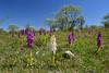 Early-purple orchids - also in white! (Thomas Roland) Tags: sweden sverige öland øland spring forår travel rejse field trip landscape landskab landschaf flora flower blomst botanical botanic orchid orkide orkidé gøgeurt orchis wild nikon d7000 tyndakset hvid white mascula earlypurple