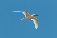 Red-Tailed Tropicbird (_quintin_) Tags: redtail tropicbird bird kilauea point hawaii kauai animal