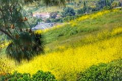 Super Bloom Spring, RPV California (shinnygogo) Tags: ranchopalosverdes rpv losangeles california spring superbloom