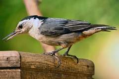"""White-breasted_Nuthatch_012 (DonBantumPhotography.com) Tags: wildlife nature animals birds """"donbantumphotographycom"""" """"donbantumcom"""" """"nikon d7200"""" """"afs nikkor 200500mm f56e ed vr"""" afs teleconverter tc14eii 14x"""""""