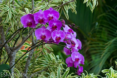 Orchids (E S M Photography) Tags: violet orchids garden outdoor green puertorico orquidea violeta caribbean caribe comerio bored boricua flower beauty nature naturaleza natural colors colorsinourworld