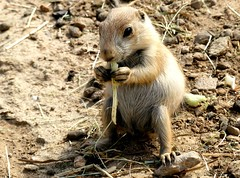 cutie ❤ (BrigitteE1) Tags: cutie päriehund schwarzschwanzpräriehund prairiedog blacktailedprairiedog cynomysludovicianus wildlandsadventurezooemmen netherlands zoo specanimal