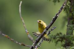 Verdier d' Europe (gilbert.calatayud) Tags: carduelischloris europeangreenfinch fringillidés passériformes verdierdeurope bird oiseau busque tarn