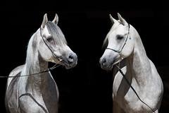 WM-Malakil-Safi (OliverSeitz) Tags: vollblutaraber schimmel pferd hengst arabianhorse araber arabian hauptundlandgestütmarbach