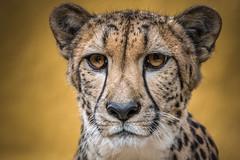 Little Princess (helenehoffman) Tags: africa mammal baby sandiegozoo cheetah cubs animal animalambassador wildlife conservationstatusvulnerable babies acinonyxjubatus feline carnivore bigcat felidae nature animalsinaction ngc npc