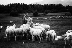 Old woman and the sheeps (minhty0602) Tags: oldwoman theold sheep sheeps vietnam vietnamlifestyle agriculture animal nature farmer blackandwhite bw pentax pentaxdslr pentaxk3 pentaxcamera sigma sigmalens sigma1750