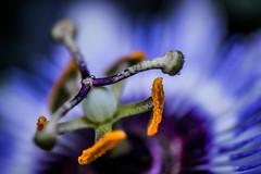 fleur3 (Laurent Hutinet) Tags: fleurs nature couleur eos550d canoneos550d macro