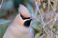 HNS_1235 Pestvogel : Jaseur boreal : Bombycilla garrulus : Seidenschwanz : Bohemian Waxwing