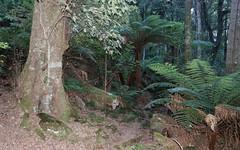 Pinkwood (Eucryphia moorei) (Poytr) Tags: cooltemperaterainforest cunoniaceae arfp nswrfp vrfp rainforest eucryphiamoorei eucryphia tree gulaganationalpark mountdromedary narooma nsw atherospermataceae