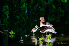 Dad and Me (craig goettsch) Tags: americanavocetrecurvirostraamericana hendersonbirdviewingpreserve2017 bird avian wildlife male chick nature reflection spotlight nikon d500 ngc npc