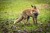 Red fox (Hotcoffee68) Tags: spain extremadura travel grass fox animals nature naturephotography sony a55