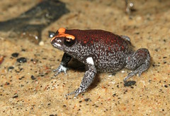 Red-crowned Brood Frog (Pseudophryne australis) (Heleioporus) Tags: redcrowned brood frog pseudophryne australis central coast new south wales