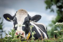 Cow hide (Jez22) Tags: cow rural cattle field animal milk holstein livestock friesian mammal countryside dairy bovine black white outdoors head closeup parsley flora sylvestris nature wild chervil keck anthriscus kent england copyright jeremysage