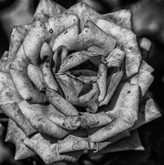 Flowers end (keith ellwood) Tags: flower bloom nature death black white tonal monochrome