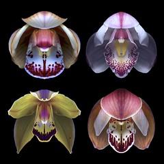Cymbidiums (Explore) (Pixel Fusion) Tags: cymbidium orchid flower flora nature macro nikon d600