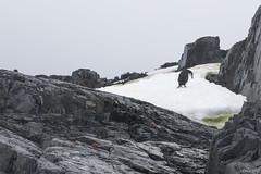 Chinstrap penguins (i-lenticularis) Tags: antarctica chinstrap foynharbor tamronsp2875f28 ice lichen penguin rock snow aq