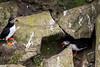 IMG_5398.jpg (Graham Racher) Tags: atlanticpuffin fraterculaarctica shetlandislands sumburgh sumburghhead puffin