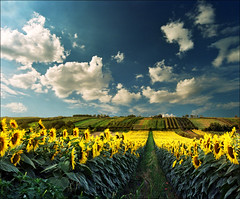 Which side is right ?...:))) (Katarina 2353) Tags: sunflower summer landscape sky field katarina2353 katarinastefanovic